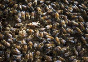 Queen honey bee in hive