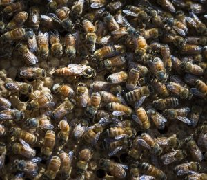 Queen honey bee in hive